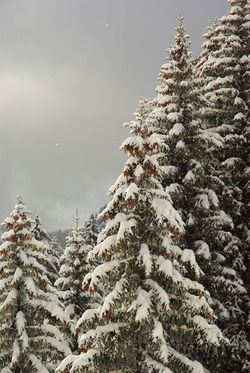 Snow_on-the_trees